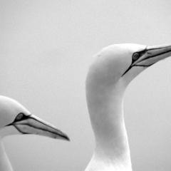 Gannets, Bonaventure Island PQ